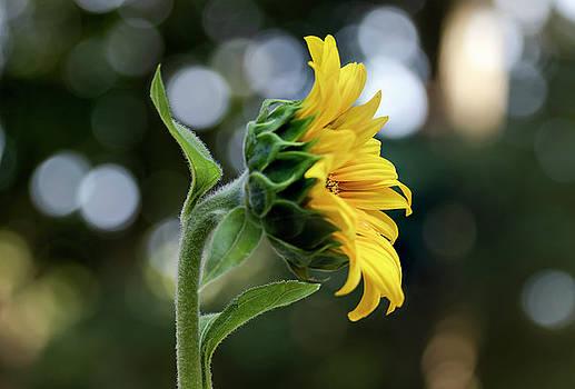 Beaver Dam Sunflower by Norma Brandsberg