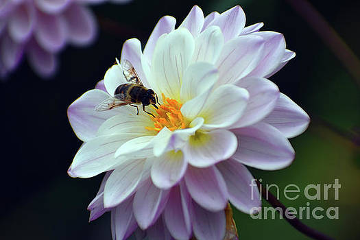 Bee and Flower by Ellie Asha Photography