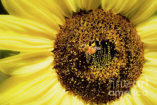 Bee and Sunflower by Mellissa Ray