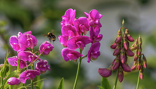 Bee Flying Between Wild Pea Flowers by Marv Vandehey