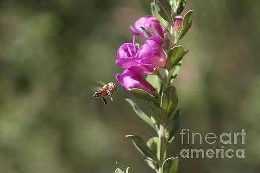 Bee Flying Towards Ultra Violet Texas Ranger Flower by Colleen Cornelius