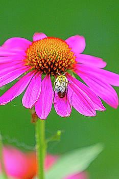 Bee on a Flower 8 by David Stasiak