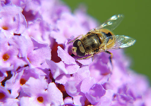 Jonny Jelinek - Hoverfly On A Purple Flower