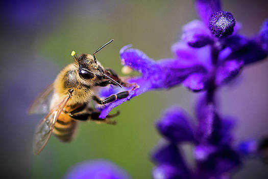 Bee on a Purple Flower by Nicole Young