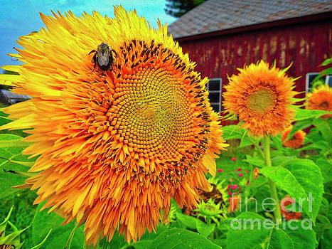 Dee Flouton - Bee on Sunflower