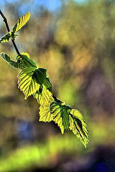 Beech branch in the light by Karl-Heinz Luepke