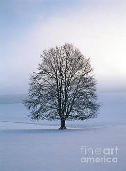 Beech in winter by Colin Roberts