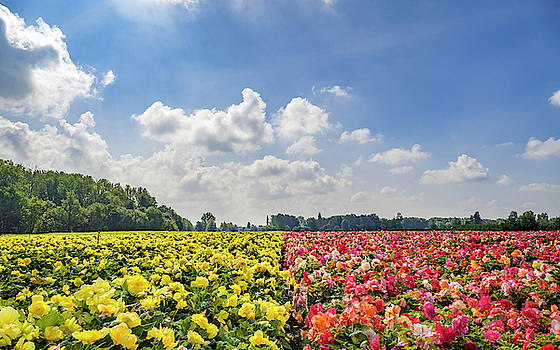 Begonia Field by Wim Lanclus