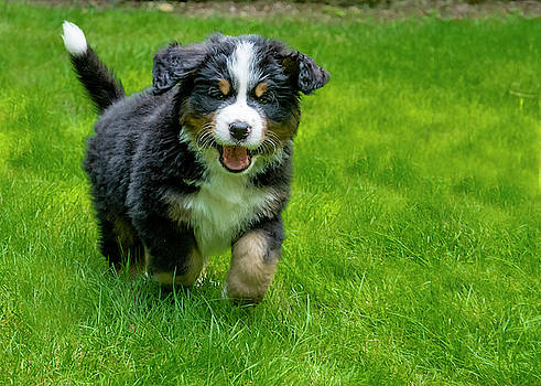 Pelo Blanco Photo - Bernese Mountain Dog Puppy Running 2