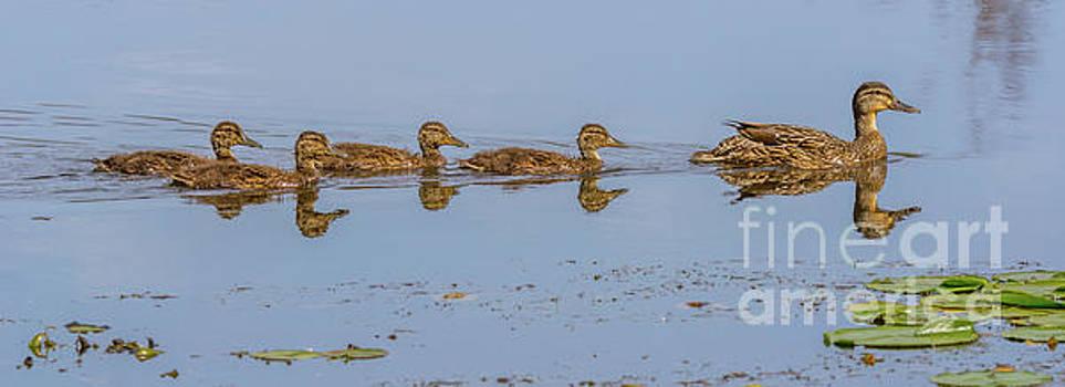 Big Ducklings Following Mom by Marv Vandehey