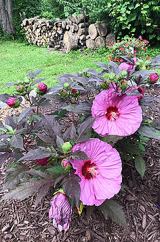 Aimee L Maher ALM GALLERY - Big Hibiscus Blooms