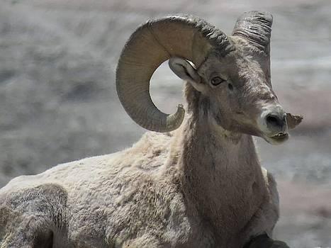 Big Horned Sheep by David Bannwart