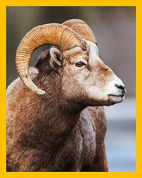 Big-Horned Sheep Magazine Cover by Tin Tran