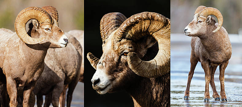 Big-Horned Sheeps Composition by Tin Tran