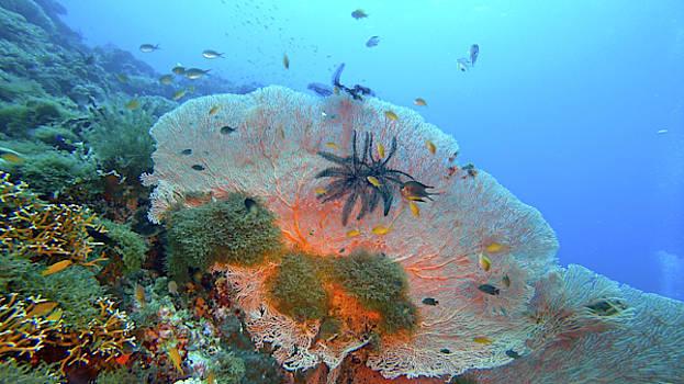 Big Sea Fan Coral, Panglao by Paul Ranky