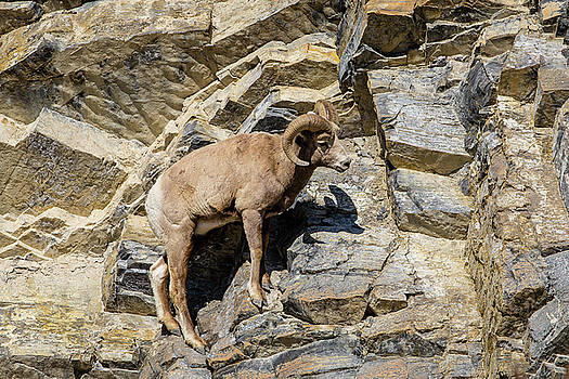 Bighorn in Jasper by M C Hood