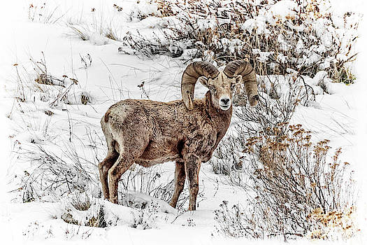 Bighorn Ram In Winter by Wes and Dotty Weber