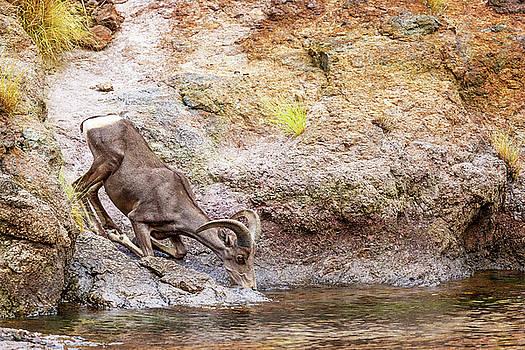 Bighorn Sheep Drinking From Lake in Summer by Susan Schmitz