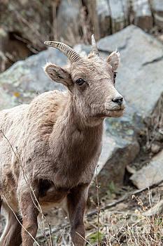 Bighorn Sheep Ewe Along the Platte River by Steve Krull