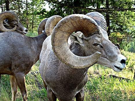Bighorn Sheep Herd by Shirley Sirois