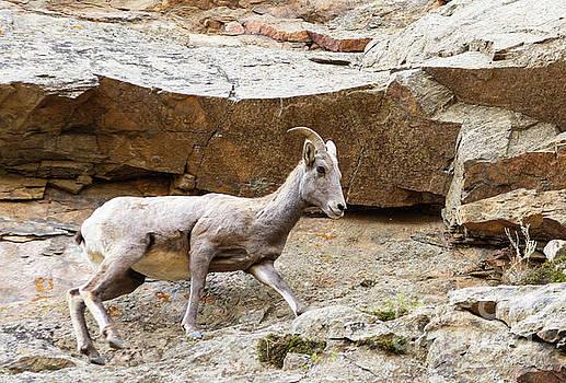 Steve Krull - Bighorn Sheep In Waterton Canyon