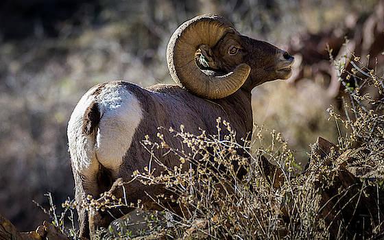 Bighorn Sheep by Joe Schwartz
