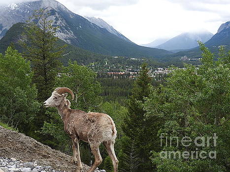 Bighorn Sheep Mountain Overlook Banff National Park by Art Sandi