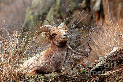 Bighorn Sheep Portrait by Steve Krull