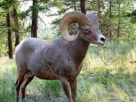 Bighorn Sheep by Shirley Sirois