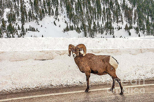 Bighorn Sheep Stopping Traffic by Sue Smith