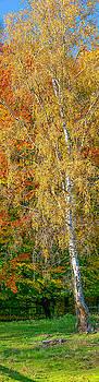 Birch autumn #i0 by Leif Sohlman