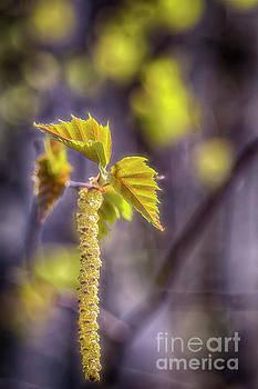 Birch blooms by Veikko Suikkanen
