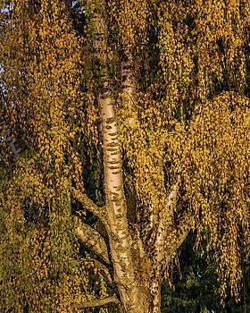 Birch tree in the evening light by Ulrich Burkhalter
