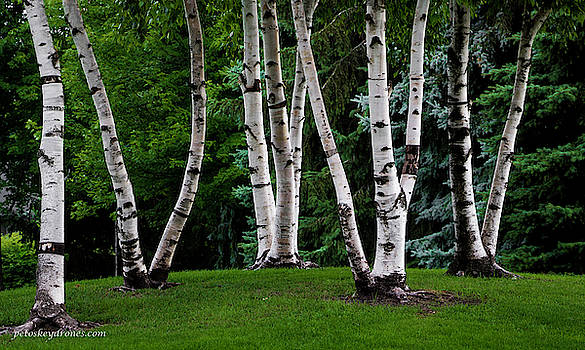 Birch Trees by Laurent Fady
