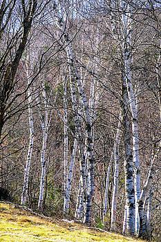 Birch Trees - Tannersville, NY by Tom Romeo
