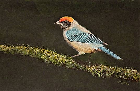 Scrub Tanager by Nelson Hammer