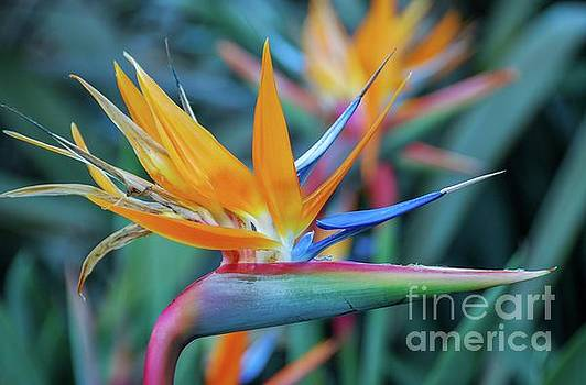 Bird of Paradise Flowers by D Davila