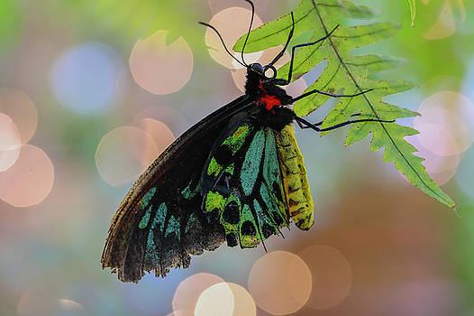 Birdwing Butterfly Bokeh by Juergen Roth