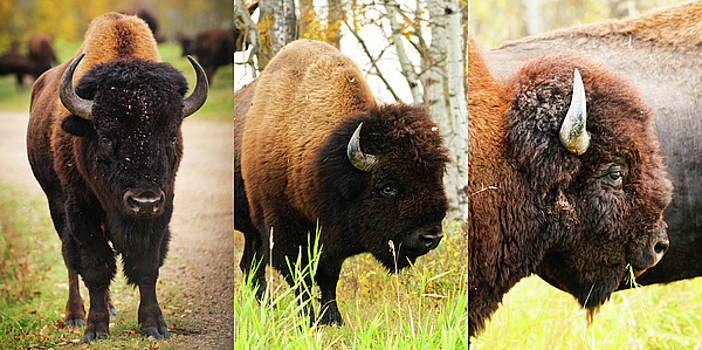 Bison Composition by Tin Tran