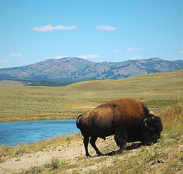 Bison by FD Graham