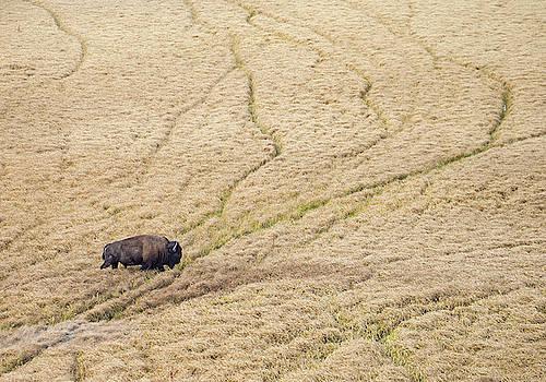 Max Waugh - Bison in Hayden Valley