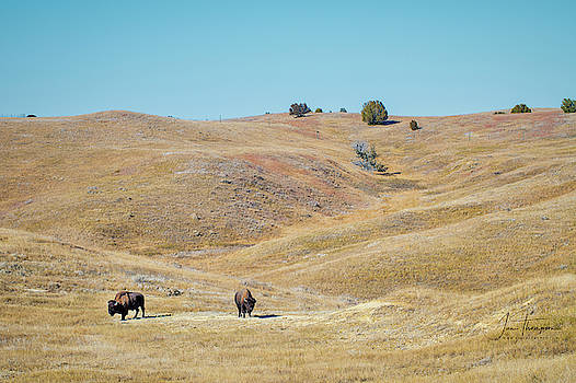 Bison by Jim Thompson