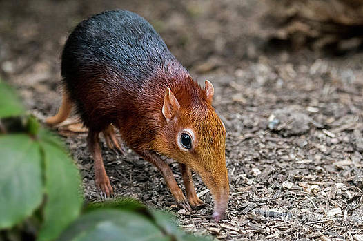 Black and Rufous Elephant Shrew by Arterra Picture Library