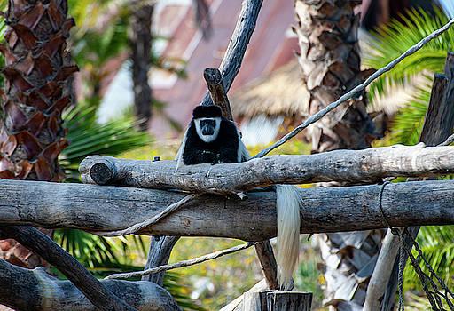 Black and White Colobus Monkey by Anthony Jones