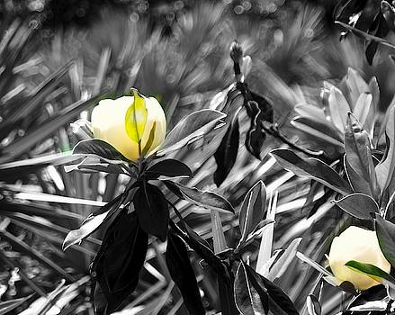 Black and White Magnolia by Yvonne Sewell