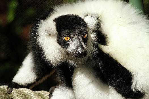Black and White Ruffed Lemur by Darrell Gregg
