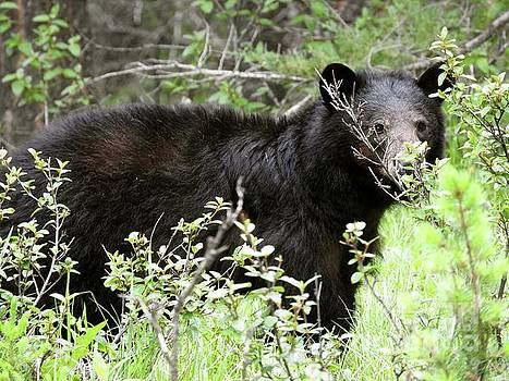 Black Bear Banff National Park Alberta Canada by Art Sandi
