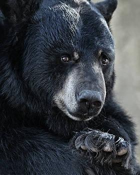 Black Bear Portrait by Fred Hood