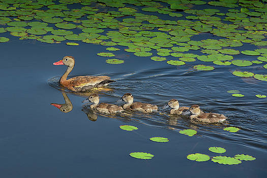 Black-Bellied Whistling Duck Family by Mitch Spence