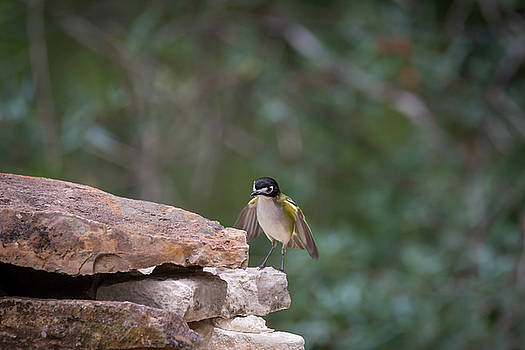 Black Capped Vireo Surprise No 3 of 4 by Debra Martz